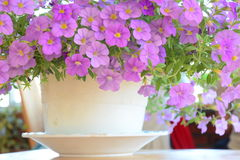 Flowers blooming in the pot Royalty Free Stock Photos