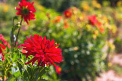 Flowers Blooming red chrysanthemum. Autumn Flowers Blooming red chrysanthemum, red chrysanthemum buds, green nature, space for text Royalty Free Stock Image