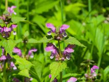 Flowers of blooming Red or Purple Dead-Nettle, Lamium Purpureum, with leaves on bokeh background, macro, selective focus. Shallow DOF Royalty Free Stock Photography
