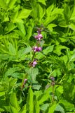 Flowers of blooming Red or Purple Dead-Nettle, Lamium Purpureum, with leaves on bokeh background, macro, selective focus. Shallow DOF Royalty Free Stock Image