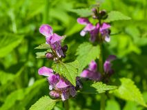 Flowers of blooming Red or Purple Dead-Nettle, Lamium Purpureum, with leaves on bokeh background, macro, selective focus. Shallow DOF Stock Photo
