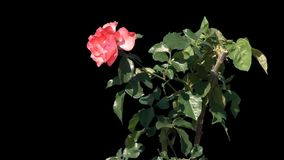 Flowers of blooming roses isolated. Shrub with flowers of blooming roses in the summer garden on a transparent background with alpha channel. Isolated objects stock video