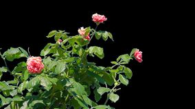 Flowers of blooming roses isolated. Shrub with flowers of blooming roses in the summer garden on a transparent background with alpha channel. Isolated objects stock footage