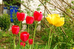 Flowers blooming in spring. Colorful tulips blooming in spring in a garden Royalty Free Stock Photo