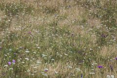 Flowers blooming in summer. On the mountain meadows of Bucovina Royalty Free Stock Photo