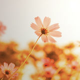 Flowers in blooming with sunset Stock Image