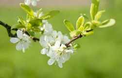 Flowers blooming on tree. Flowers blossoming on leafy tree branch with green nature background Stock Photos