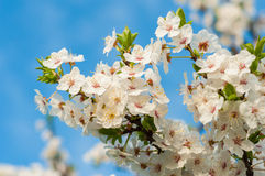 Flowers of blooming tree Royalty Free Stock Photo