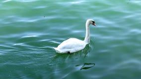 SINGLE WHITE SWAN Royalty Free Stock Image