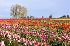 Flowers Blooming in Tulip Field in Springtime Royalty Free Stock Photos