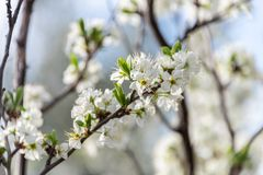 Flowers of blossom almond tree in the field royalty free stock photos