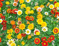 Flowers blossom background Royalty Free Stock Images