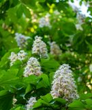 Flowers bloom on branch of chestnut tree stock photo