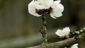 Flowers blossom on the pear fruit tree branch. With buds and spider web stock video footage