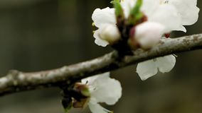Flowers blossom on the pear fruit tree branch. With buds and spider web stock video