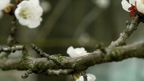 Flowers blossom on the pear fruit tree branch. With buds and spider web stock footage