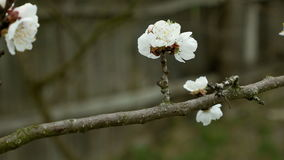 Flowers blossom on the pear fruit tree branch. With buds and spider web. 4K UHD video footage stock footage