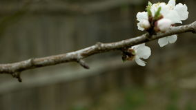 Flowers blossom on the pear fruit tree branch stock footage