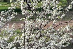 Flowers of blossom plum tree in the field. Flowers of blossom plum tree in field stock photography