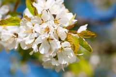 Flowers and blossom in spring Royalty Free Stock Image