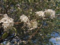 white Flowers blossom Stock Images