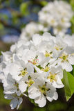 Flowers blossomed pear Stock Photo