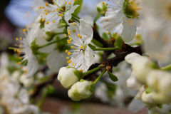 Flowers of a blossoming cherry. In the spring Stock Images