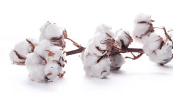Flowers blossoming cotton Royalty Free Stock Image