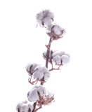 Flowers blossoming cotton Royalty Free Stock Images
