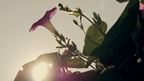 Flowers blossoming pear closeup backlit volume sunlight and romantic haze stock video