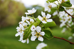 Flowers. Blossoming flowers in Spring time Royalty Free Stock Image