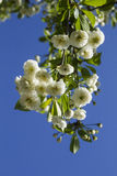 Flowers of blossoming tree Stock Image