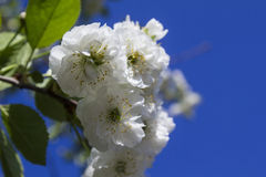 Flowers of blossoming tree Stock Photography