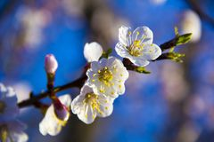Apricot tree flowers with soft focus. Spring white flowers on a tree branch. Apricot tree in bloom. Spring, white flowers of apric. Flowers of blossoming trees royalty free stock photos