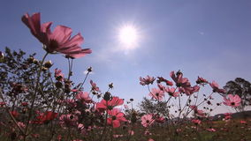 Flowers blowing in the wind with blue sky stock video
