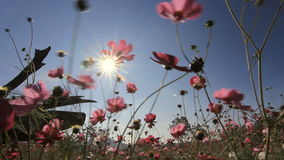 Flowers blowing in the wind with blue sky stock video footage