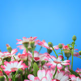 Flowers on a blue background Royalty Free Stock Photos
