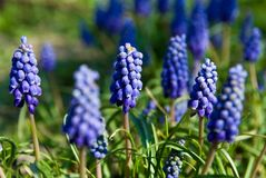 Flowers with blue blooms. Small flowers with blue blooms Stock Photos