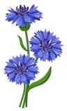 Flowers Blue Cornflower (Centaurea Cyanus). Royalty Free Stock Image
