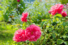 Flowers of a blue forget me not, pink roses have flowering in a. Garden on flower bed. colored flowers blossom in park Stock Photography