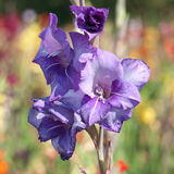 Flowers of a blue gladiolus Royalty Free Stock Photography