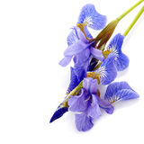 Flowers of a blue iris. Royalty Free Stock Photo
