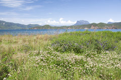 Flowers Beside a Blue Lake. White and purple wildflowers grow beside the blue waters of Lugu Lake in northern Yunnan province, southern China Stock Photos