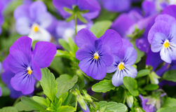 Flowers blue pansy Royalty Free Stock Photo