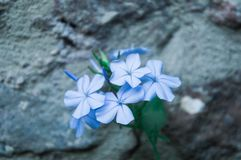 Flowers of blue plumbago Plumbago auriculata. Gray stony soil in the background. stock photos