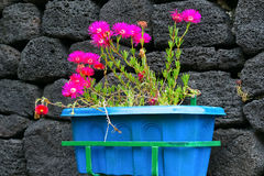 Flowers in blue pot. Small botanical garden in San Roque on the island of Pico Azores Royalty Free Stock Photography
