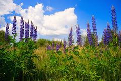 Flowers blue-purple lupine against the  sky. Royalty Free Stock Images