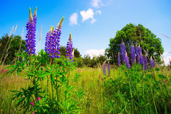 Flowers blue-purple lupine against the  sky. Royalty Free Stock Photo