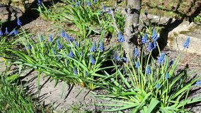 Flowers blue Scilla stock footage