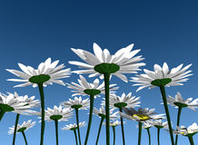Flowers in the blue sky. Daisies, flowers in the blue sky background Stock Photo